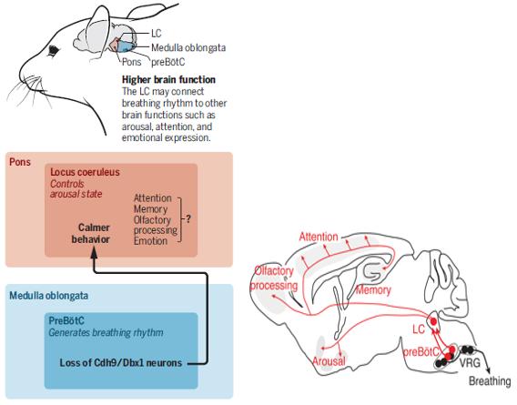 Relación entre el locus coeruleus y el control de la respiración